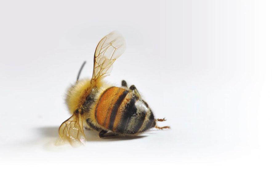 انقراض زنبورهای عسل