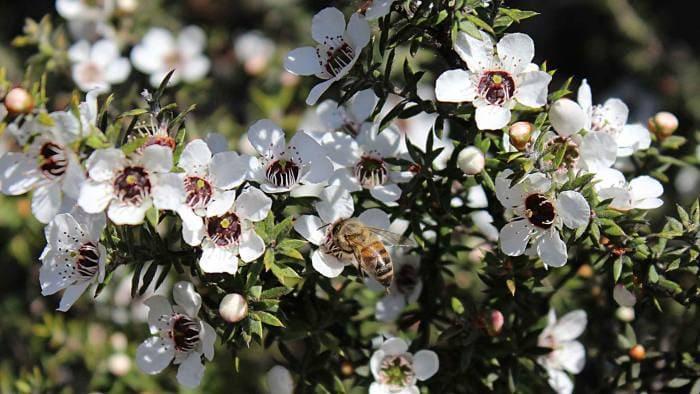 عکس درخت مانوکا