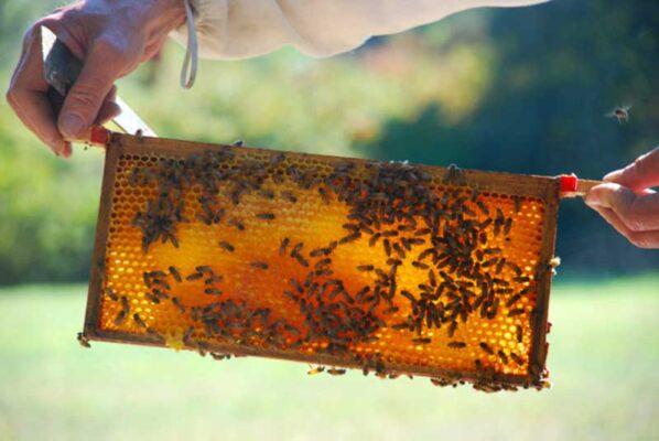 برداشت عسل 3