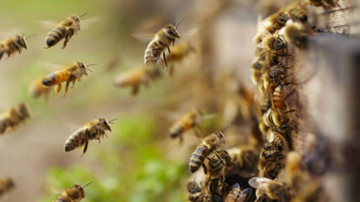تاثیر کاهش جمعیت زنبورهای عسل