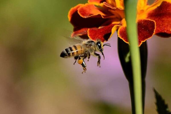 نیش زنبور عسل
