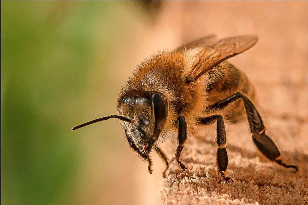 زنبور درمانی و خواص دارویی محصولات زنبور عسل