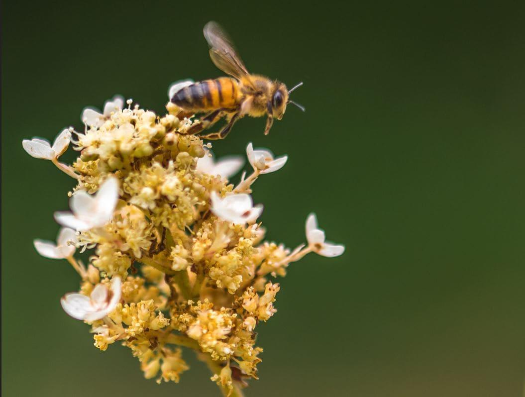 زنبور درمانی و خواص درمانی گرده