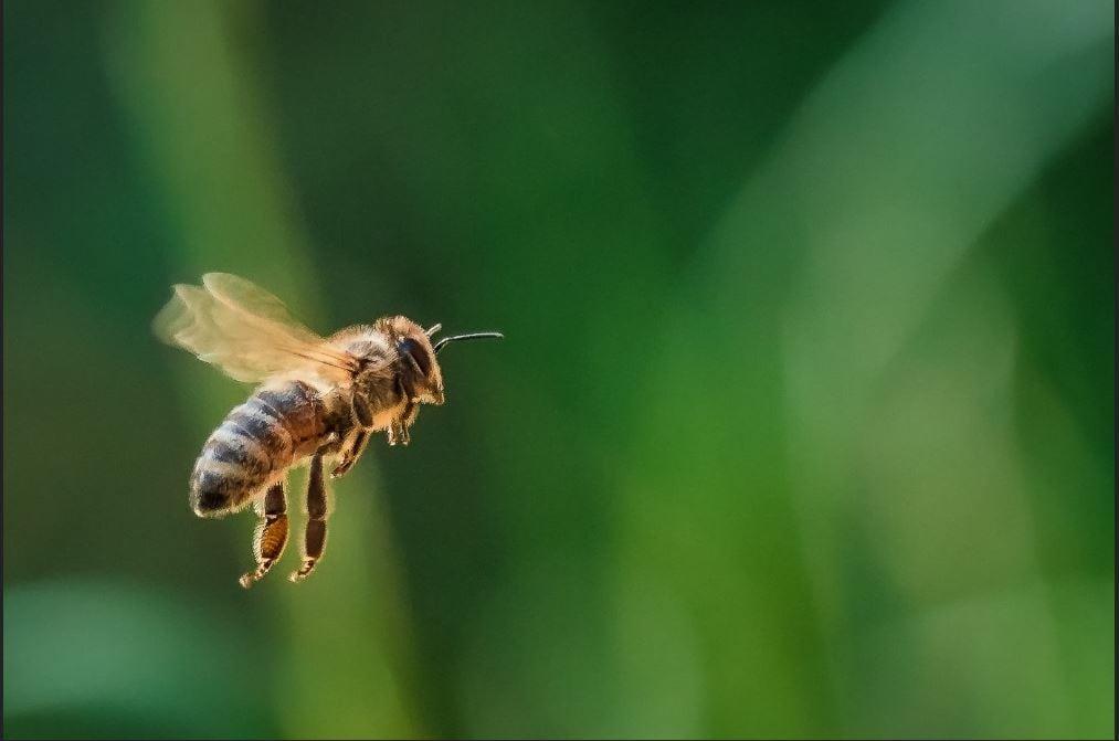 زنبور درمانی