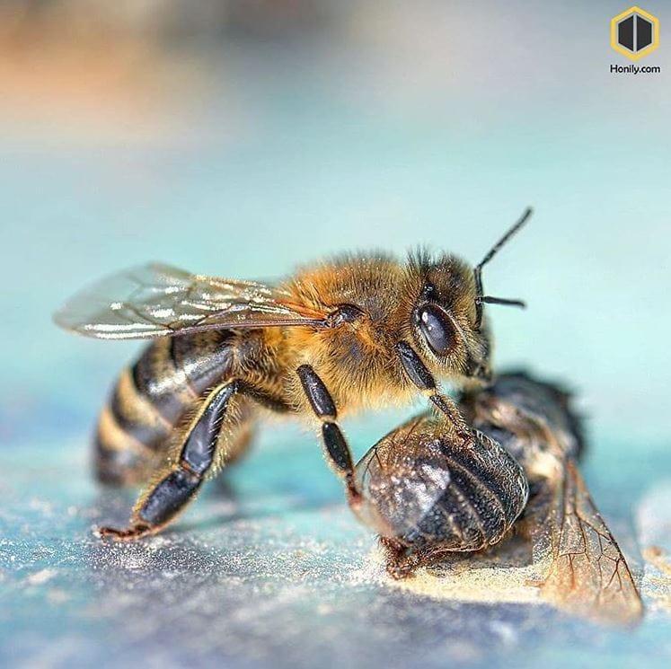 پایان زندگی زنبور نر