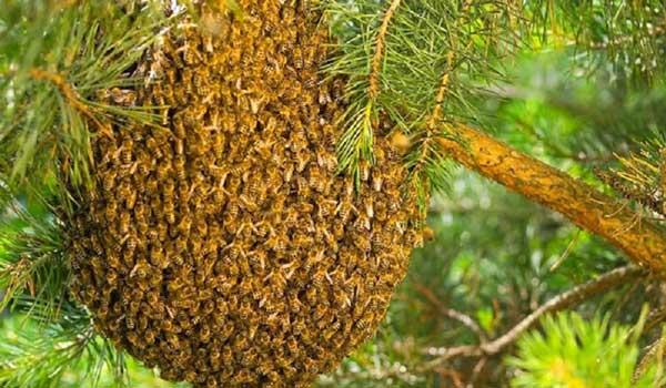 پوره دادن کندو و انتقال زنبور عسل به کندو