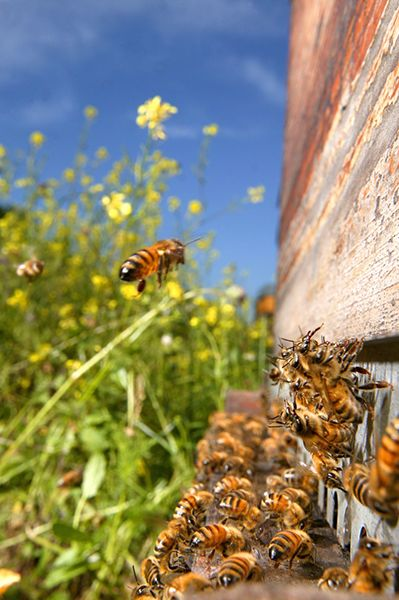 انتقال زنبورهای پراکنده و پوره کندو به خانه